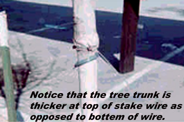 If wire is left around this tree, the tree will most  probably expire. If wire is removed from around this tree, the tree will most probably  expire.